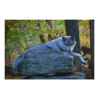 Grey Wolf resting in the Fall. Photo Print