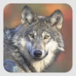 Grey Wolf Sticker (Square)