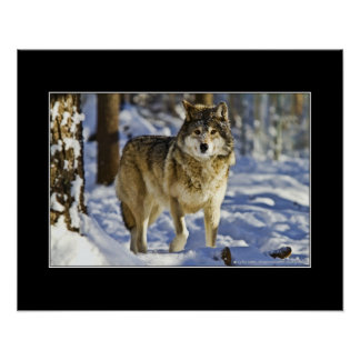 Grey wolf walking in snow - poster