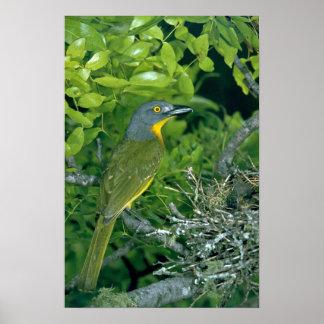 Greyheaded Bush Shrike Posters