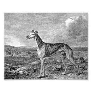 Greyhound Black and White Illustration Photo Print