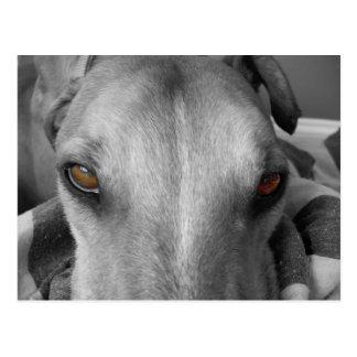 Greyhound Eyes Postcard