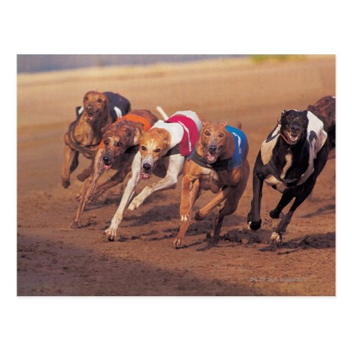 greyhound gift card greyhounds racing on track postcard zazzle 9042