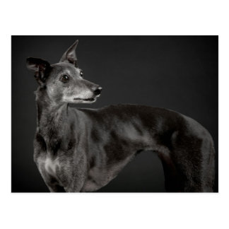 Greying whippet postcard