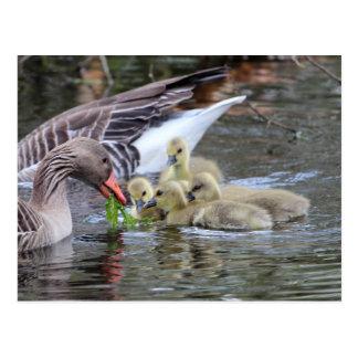 Greylag geese feeding goslings postcard