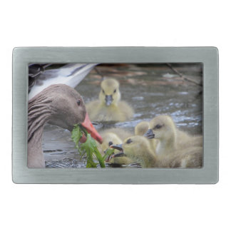 Greylag geese feeding goslings with plants on a la belt buckle
