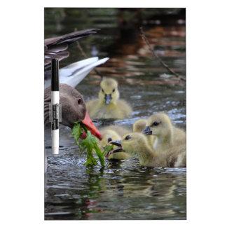 Greylag geese feeding goslings with plants on a la dry erase board