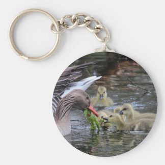 Greylag geese feeding goslings with plants on a la keychain