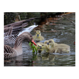 Greylag geese feeding goslings with plants on a la postcard