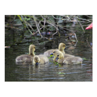 Greylag geese goslings with plants on a lake. postcard
