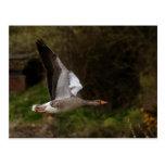 Greylag Geese Postcard