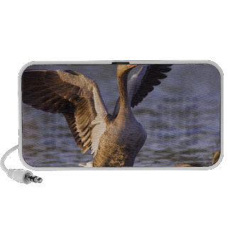 Greylag Goose Anser anser adult with young PC Speakers