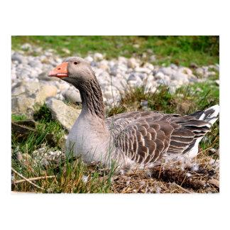 Greylag goose on nest postcard