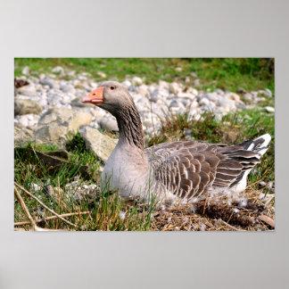 Greylag goose on nest poster
