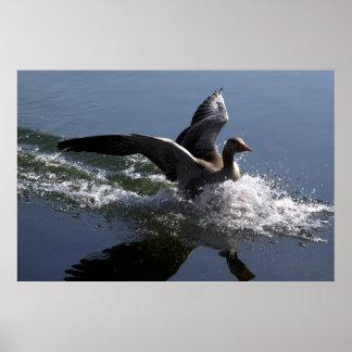 Greylag Goose Splashing Poster