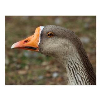 Greylag Swan Goose Cross Postcard