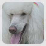Grinning White Standard Poodle Square Sticker