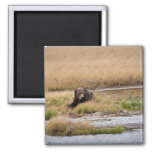 Grizly Bear 2 Inch Square Magnet