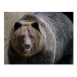 Grizzle Bear4x6 Post Card