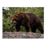 grizzly-bear-002 postales