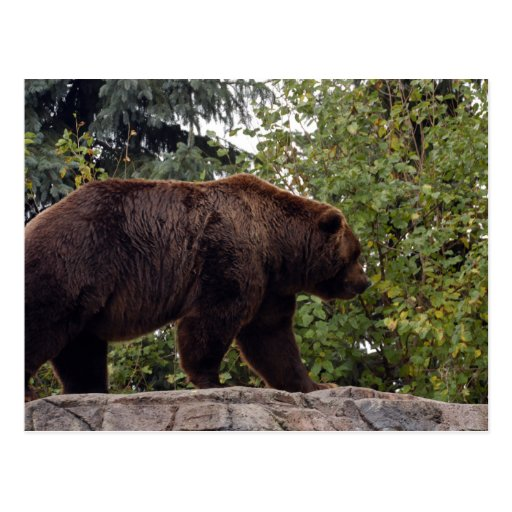 grizzly-bear-007 postcards