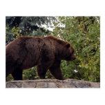 grizzly-bear-007 tarjetas postales