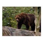 grizzly-bear-013 postcard
