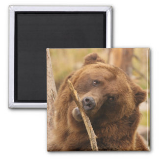 grizzly bear 2 inch square magnet