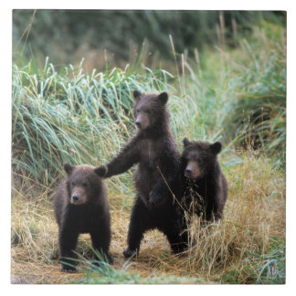 Grizzly bear, brown bear,  cubs in tall grasses, large square tile