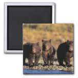 Grizzly bear, brown bear, cubs, Katmai National 2 Inch Square Magnet