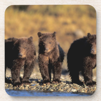 Grizzly bear, brown bear, cubs, Katmai National Coaster