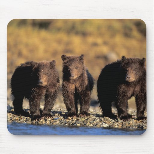 Grizzly bear, brown bear, cubs, Katmai National Mouse Pad