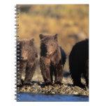 Grizzly bear, brown bear, cubs, Katmai National Note Books