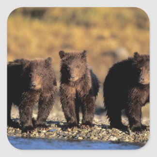 Grizzly bear, brown bear, cubs, Katmai National Square Sticker