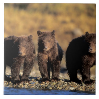 Grizzly bear, brown bear, cubs, Katmai National Large Square Tile