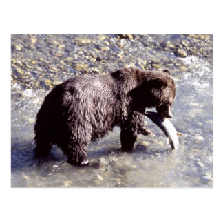 Grizzly bear catching a fish on Vancouver Island Post Card
