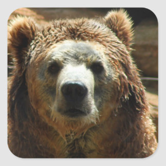 Grizzly Bear Chilling Square Stickers