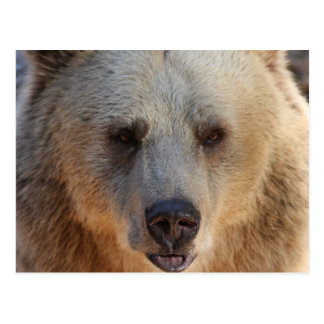Grizzly Bear Close-Up in Alaska Postcard