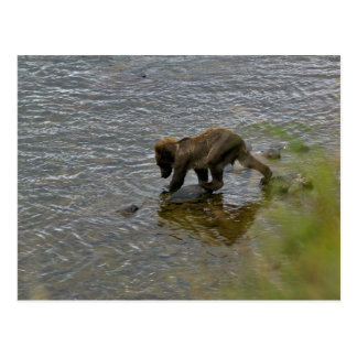 Grizzly bear cubs postcards