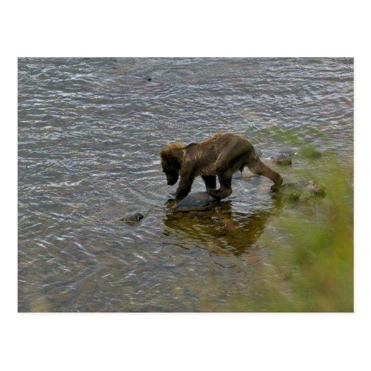 Grizzly bear cubs postcard