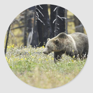 Grizzly Bear in Field at Yellowstone National Park Classic Round Sticker
