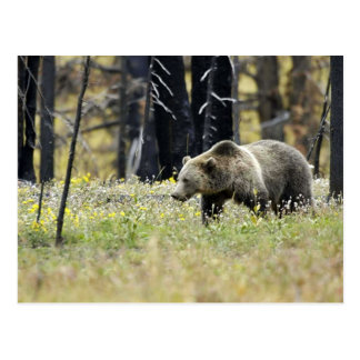 Grizzly Bear in Field at Yellowstone National Park Postcard