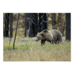 Grizzly Bear in Field Print