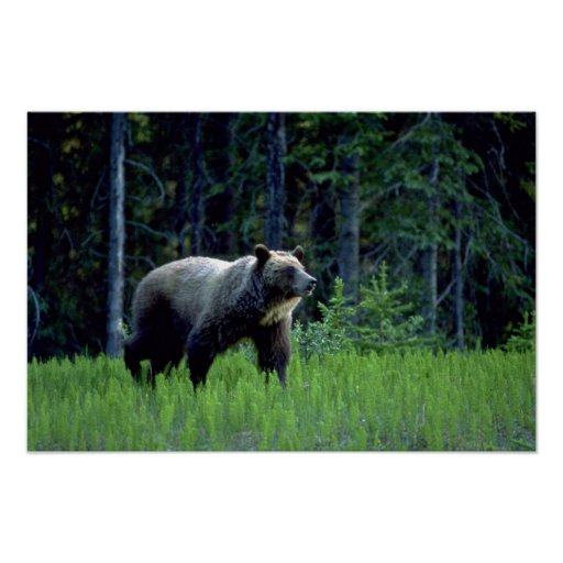 Grizzly Bear In Meadow Poster