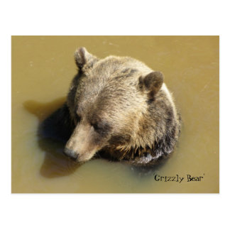 Grizzly Bear in the Water Postcard