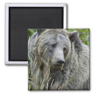 Grizzly Bear in Yellowstone National Park Magnet