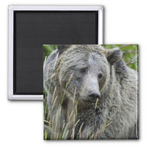 Grizzly Bear in Yellowstone National Park 2 Inch Square Magnet
