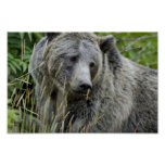Grizzly Bear in Yellowstone National Park Poster