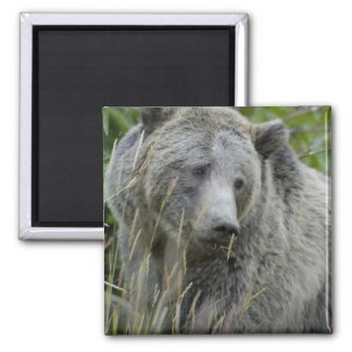 Grizzly_Bear_Photography_Art 2 Inch Square Magnet