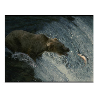 Grizzly Bear  Picture-Fishing for Salmon Post Card
